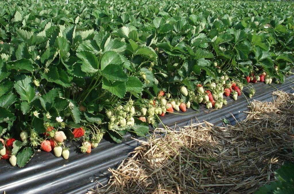 Сколько лет может плодоносить клубника на одном месте и нюансы выращивания