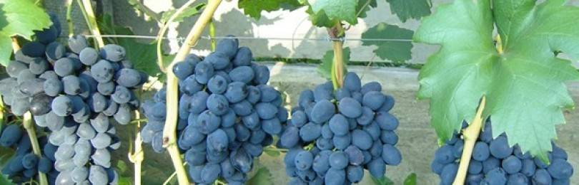 Виноград забава: описание сорта и характеристики, посадка и уход, размножение