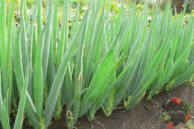 Лук батун из семян, посадка, выращивание и уход за луком в открытом грунте