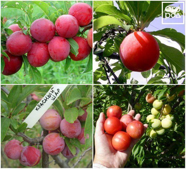 Слива красный шар описание и характеристика сорта, достоинства и недостатки, особенности посадки и