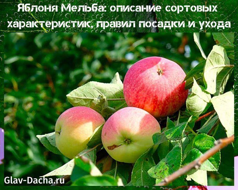 Яблоня чемпион - когда созревает сорт, описание яблок