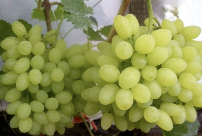Виноград русбол: описание и характеристика сорта, посадка, выращивание и уход