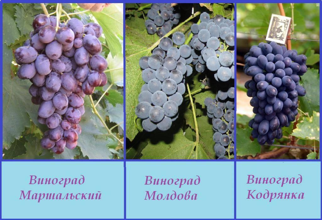 Виноград сенсация: описание сорта, выращивание
