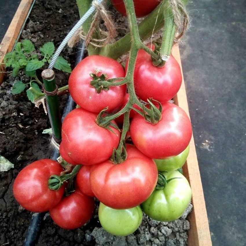 Какие сорта помидоров лучше выбрать для открытого грунта
