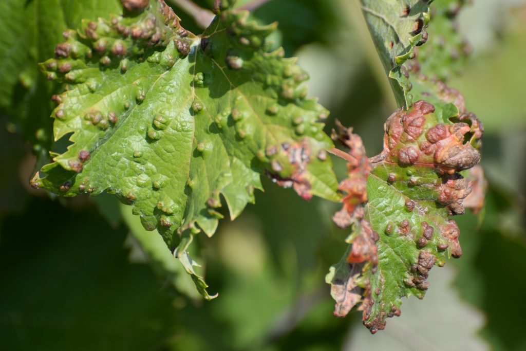 Филлоксера на винограде – так ли страшен черт?