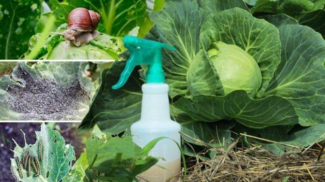 Ранняя белокочанная капуста - сорта, выращивание рассады и прямой посев в грунт