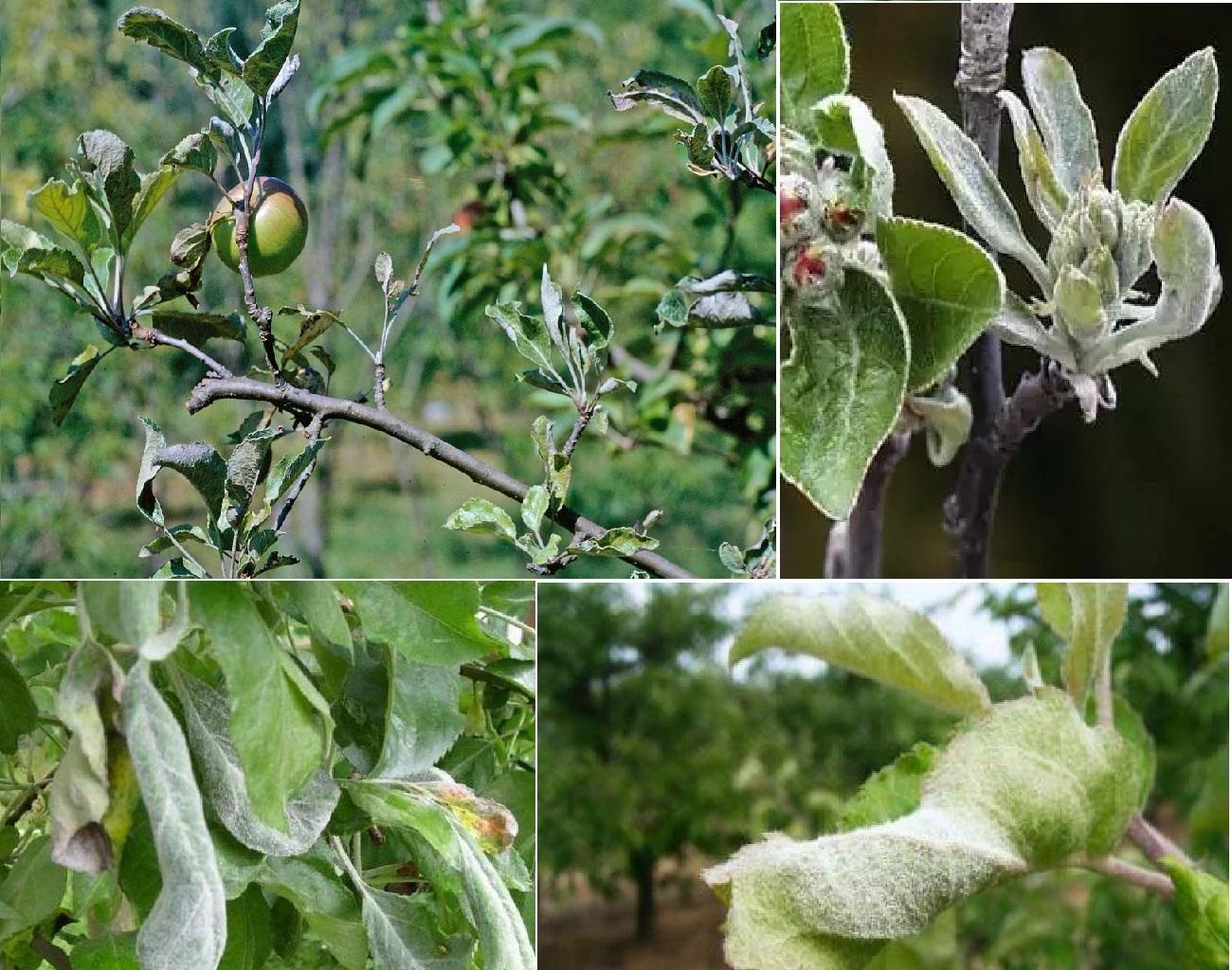 Что делать, если на яблоне сохнут листья?