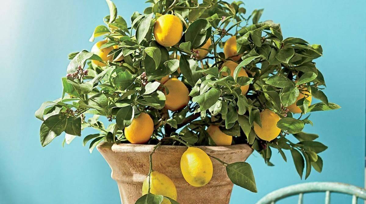 Павловский лимон: описание, фото, выращивание