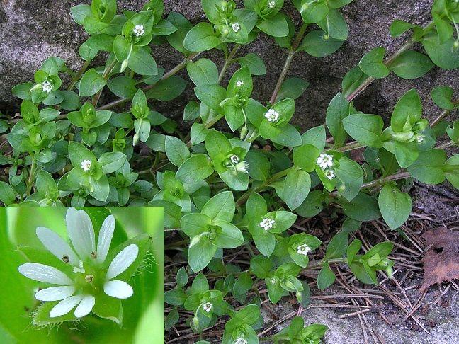 Трава мокрица - лечебные свойства и противопоказания, фото, правильная заготовка