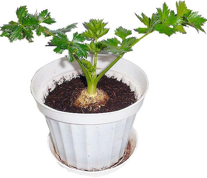 Петрушка: посадка и уход в открытом грунте, как вырастить на подоконнике, фото