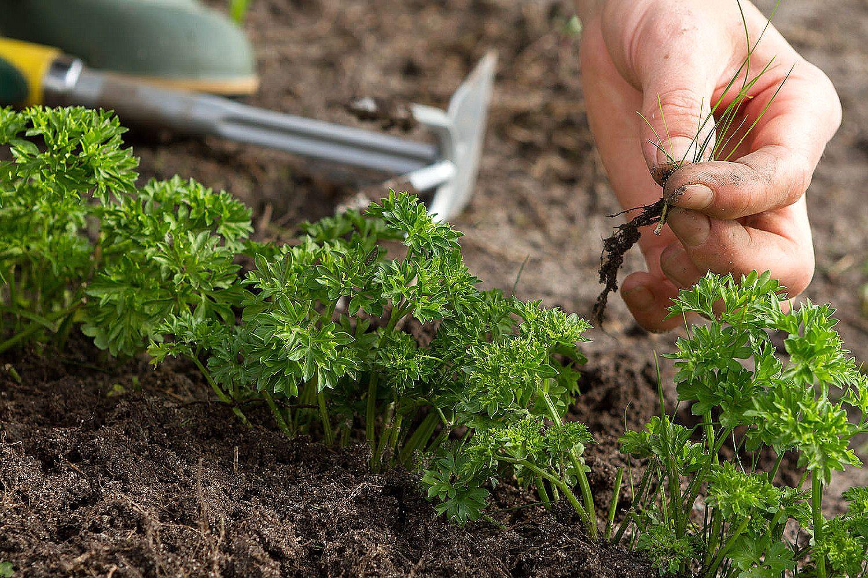 Выращивание петрушки на собственном участке