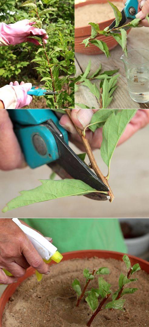 Барбарис. размножение черенками