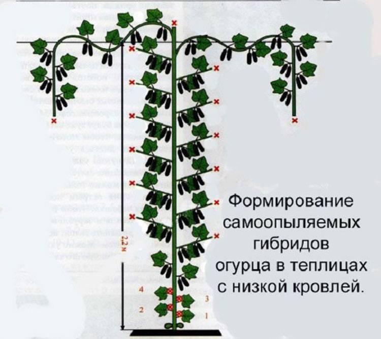 Схема и правила формирования дыни в теплице