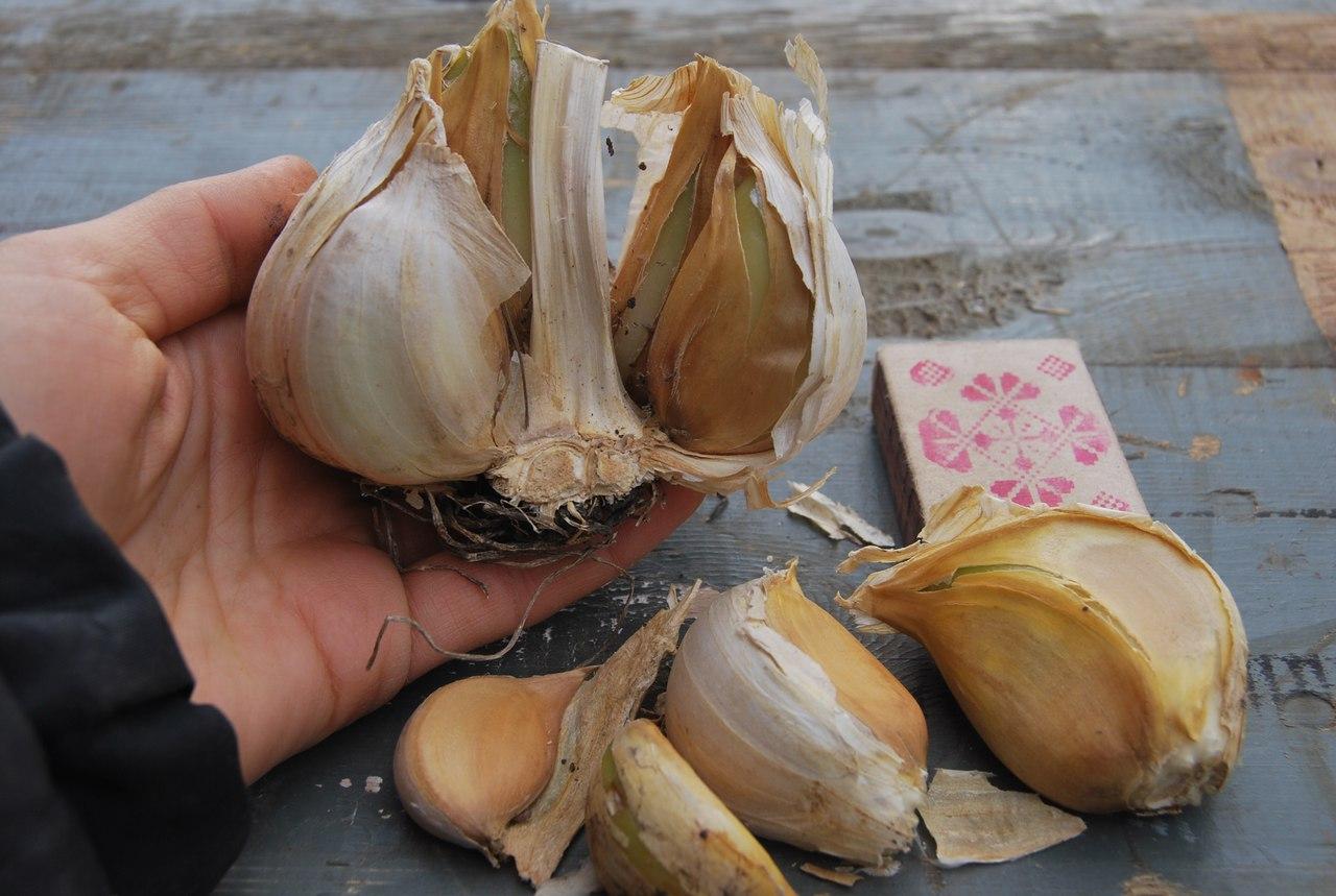 Гибрид чеснока и лука рокамболь: описание, выращивание и агротехника с фото
