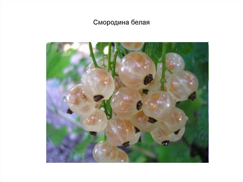 Смородина белая фея: отзывы про выращивание и описание сорта