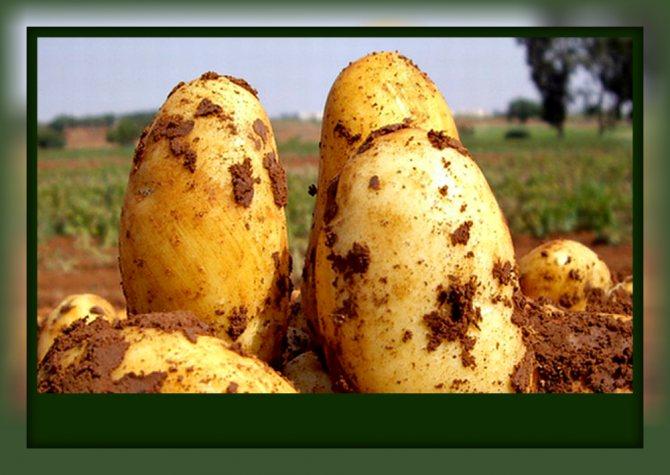 Сорт картофеля зорачка: описание, посадка и уход русский фермер