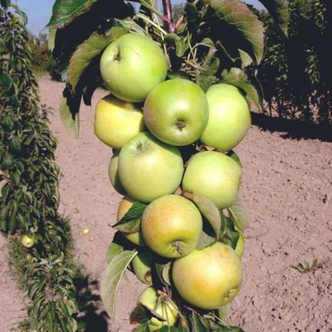 Колоновидная яблоня малюха — правила выращивания