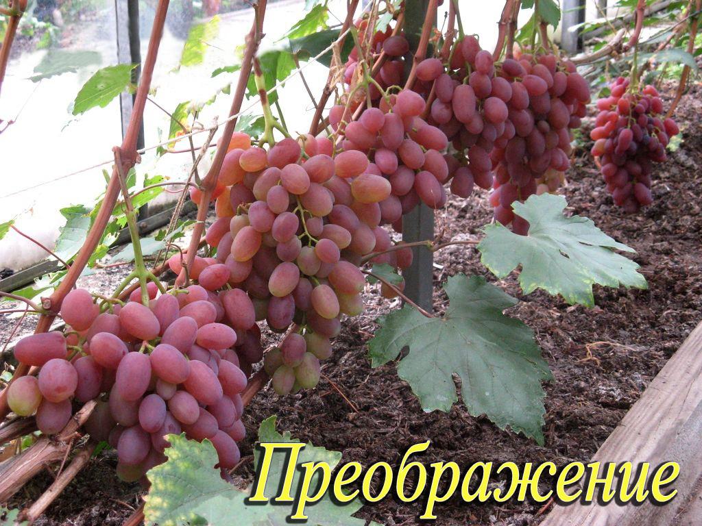 Виноград преображение: описание сорта, фото, отзывы садоводов, видео
