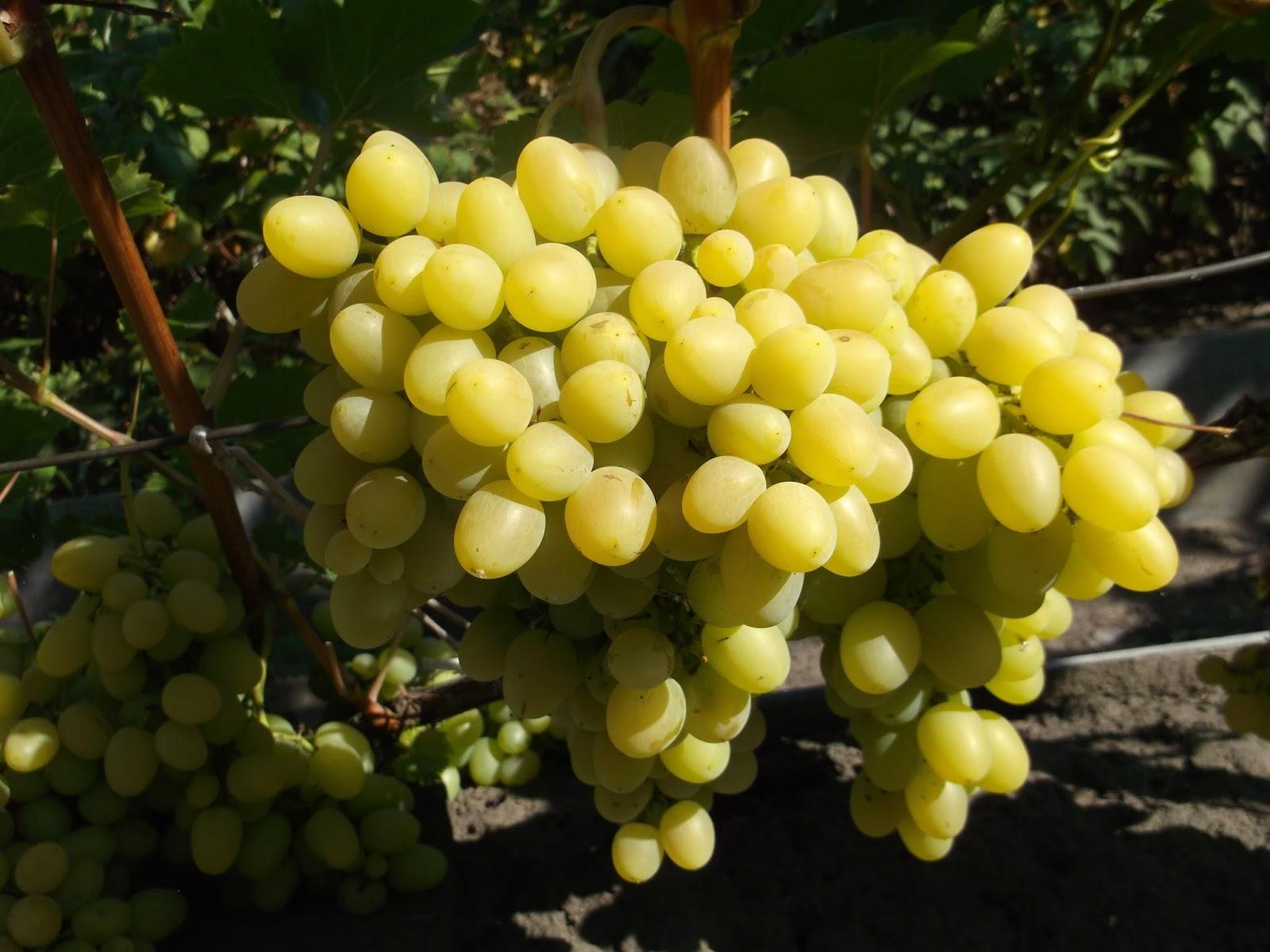 «хусайне белый» или «дамские пальчики» — что за виноград такой?