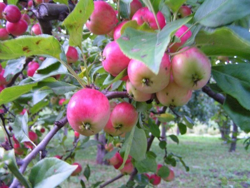 Описание сорта яблони бессемянка мичуринская: фото яблок, важные характеристики, урожайность с дерева