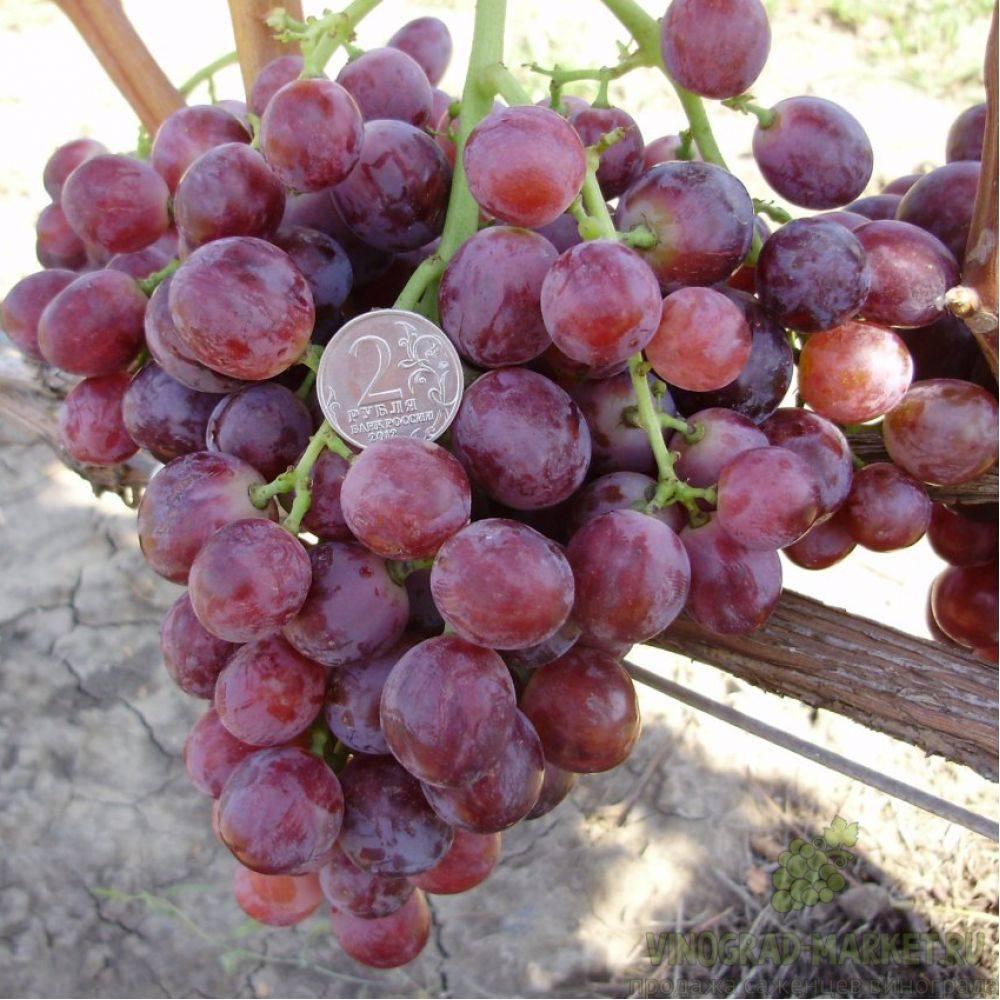 Виноград кардинал: правила выращивания, описание сорта столового назначения, отзывы, фото, урожайность