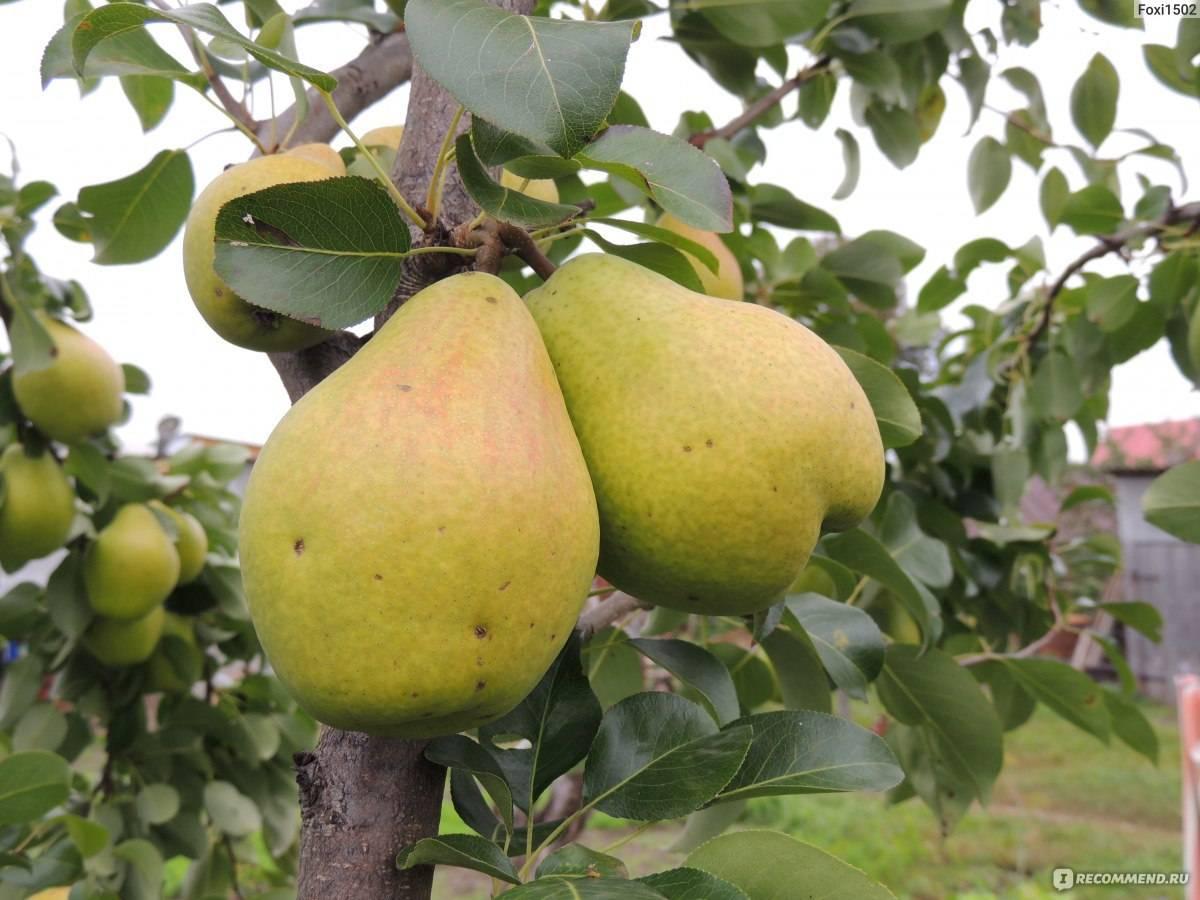Груша медовая: полная характеристика и описание летнего колоновидного сорта