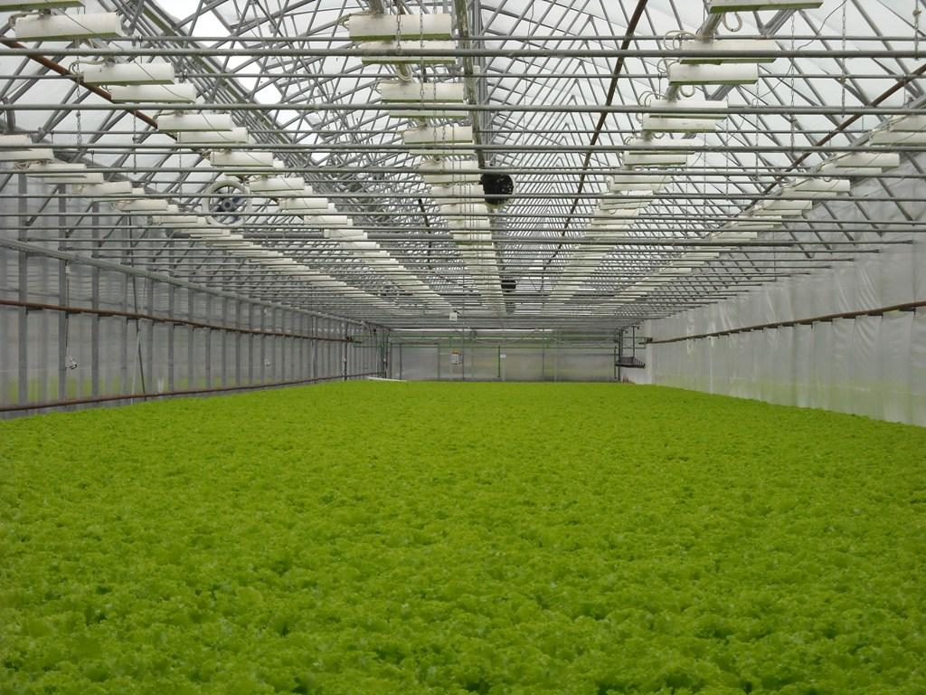 Зелень в парнике и теплице: инструкция по выращиванию