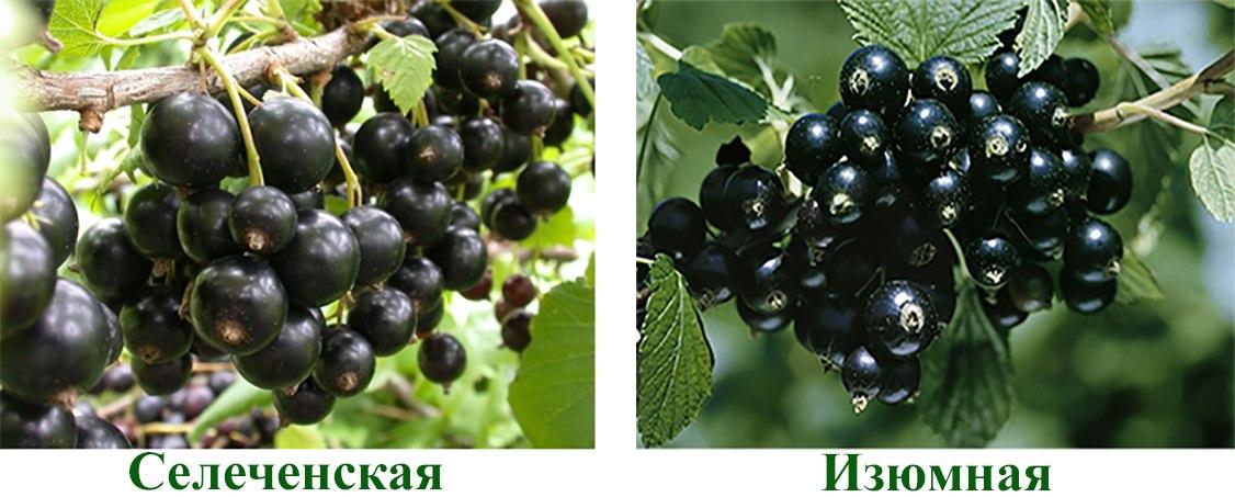 Сорта черной смородины: описание, характеристика, фото - sadovnikam.ru