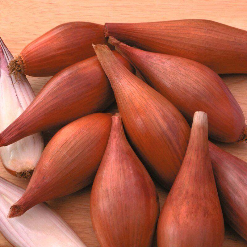 Хороший урожай лука при несложном уходе – сорт бамбергер: описание, выращивание, правила сбора и хранения