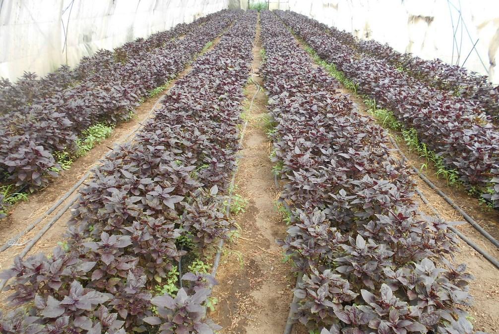 Бизнес идея выращивание базилика и мяты с расчетами