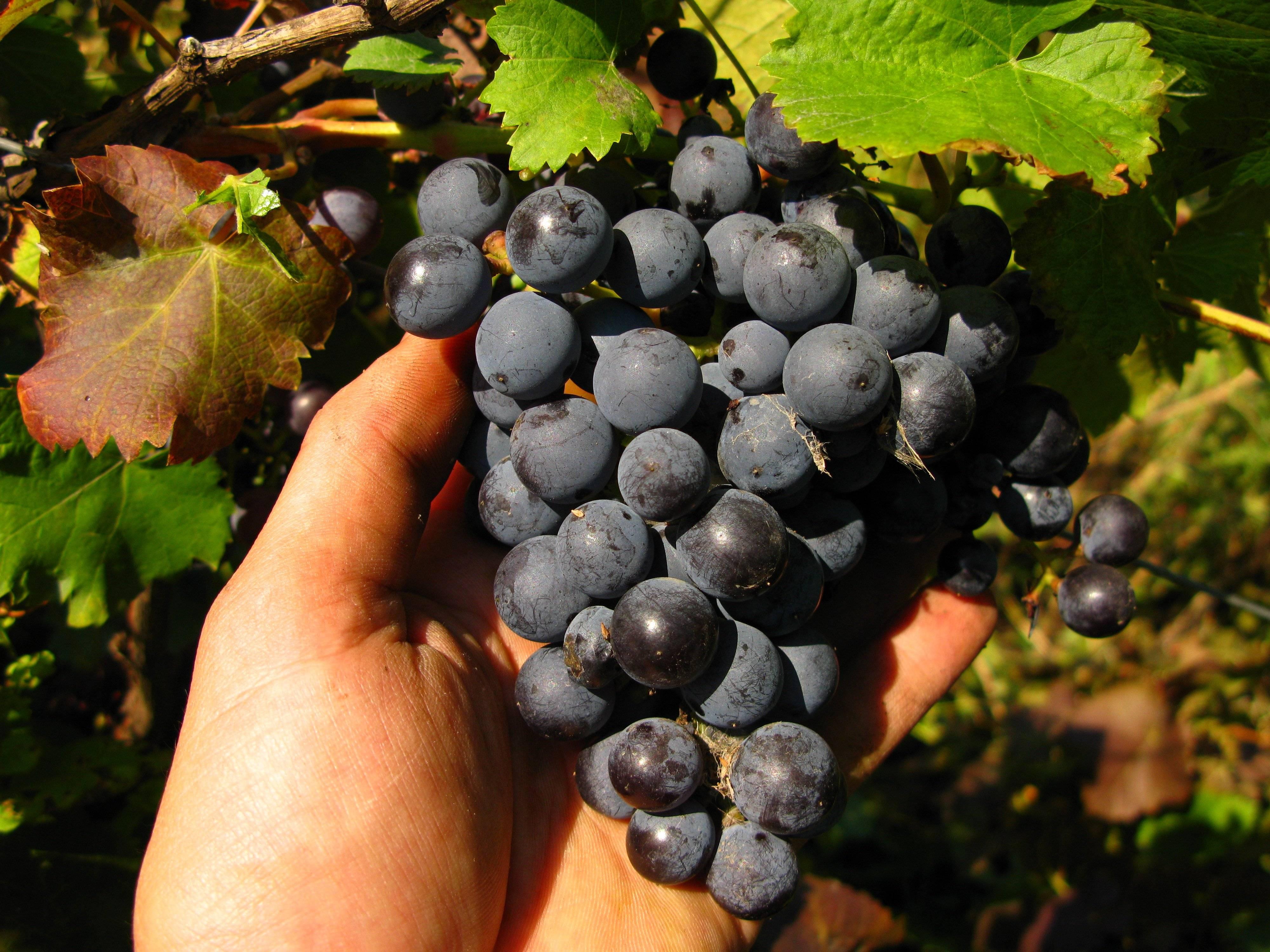 Сорт винограда фиолетовый ранний, описание сорта с характеристикой и отзывами, а также особенности посадки и выращивания