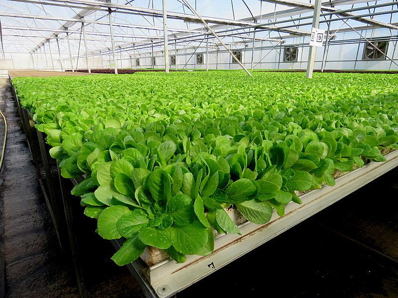 Как правильно выращивать и ухаживать за базиликом в теплице - всё про сады