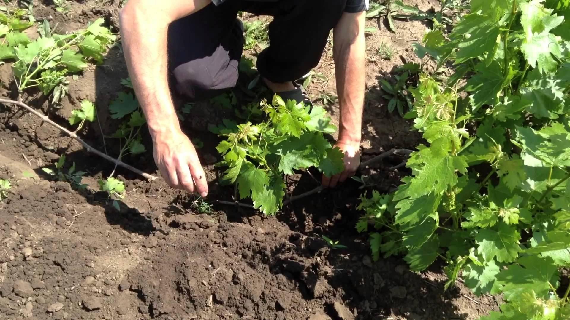 Как сажать виноград? сроки, подготовка и высадка