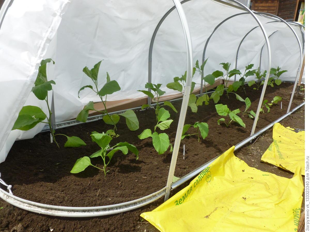 Почему не растет перец после высадки в теплицу: причины, как решить проблему, что делать и чем подкормить
