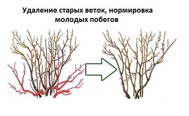 Как получить хороший урожай смородины - дачные советы.ру