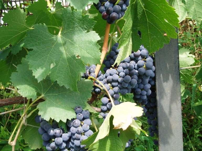 Виноград ливия: описание сорта с характеристикой и отзывами, особенности посадки и выращивания, фото