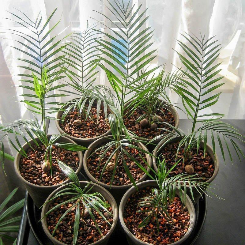 Выращивание и уход за финиковой пальмой в домашних условиях