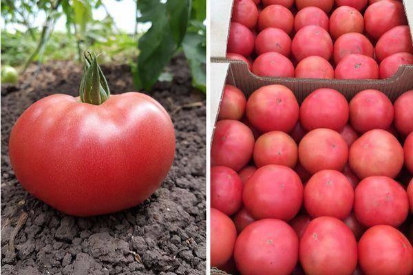 Томат розовая стелла: отзывы, фото, урожайность, описание и характеристика | tomatland.ru