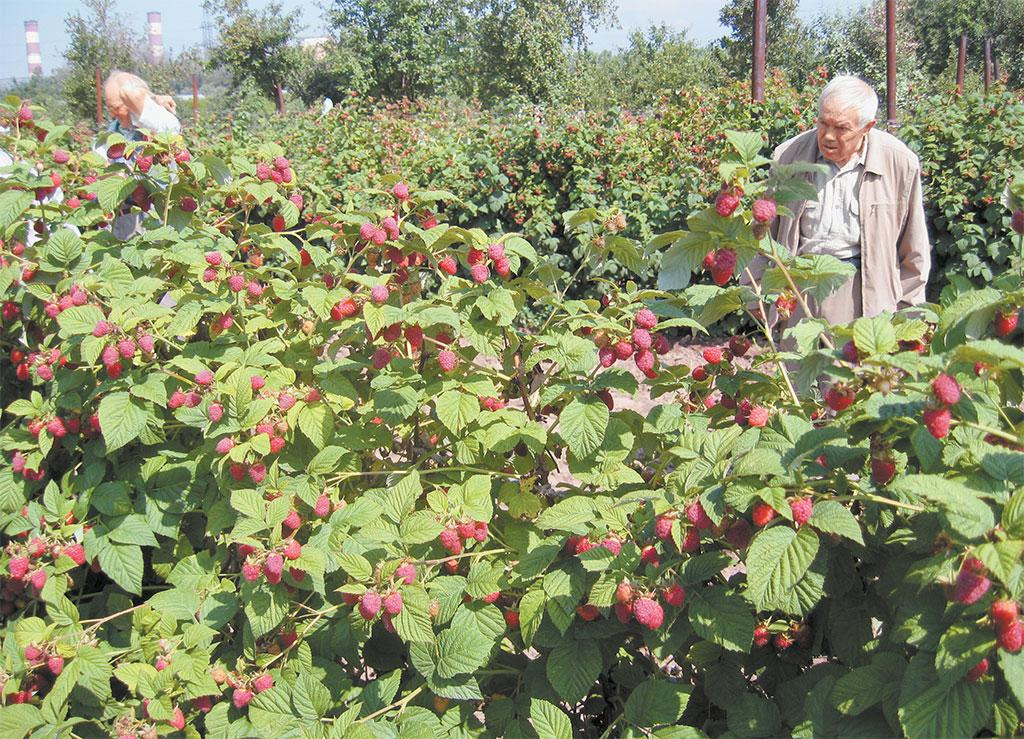 Малина бриллиантовая: описание и характеристика сорта, отзывы садоводов, особенности посадки и выращивания и ухода за растением