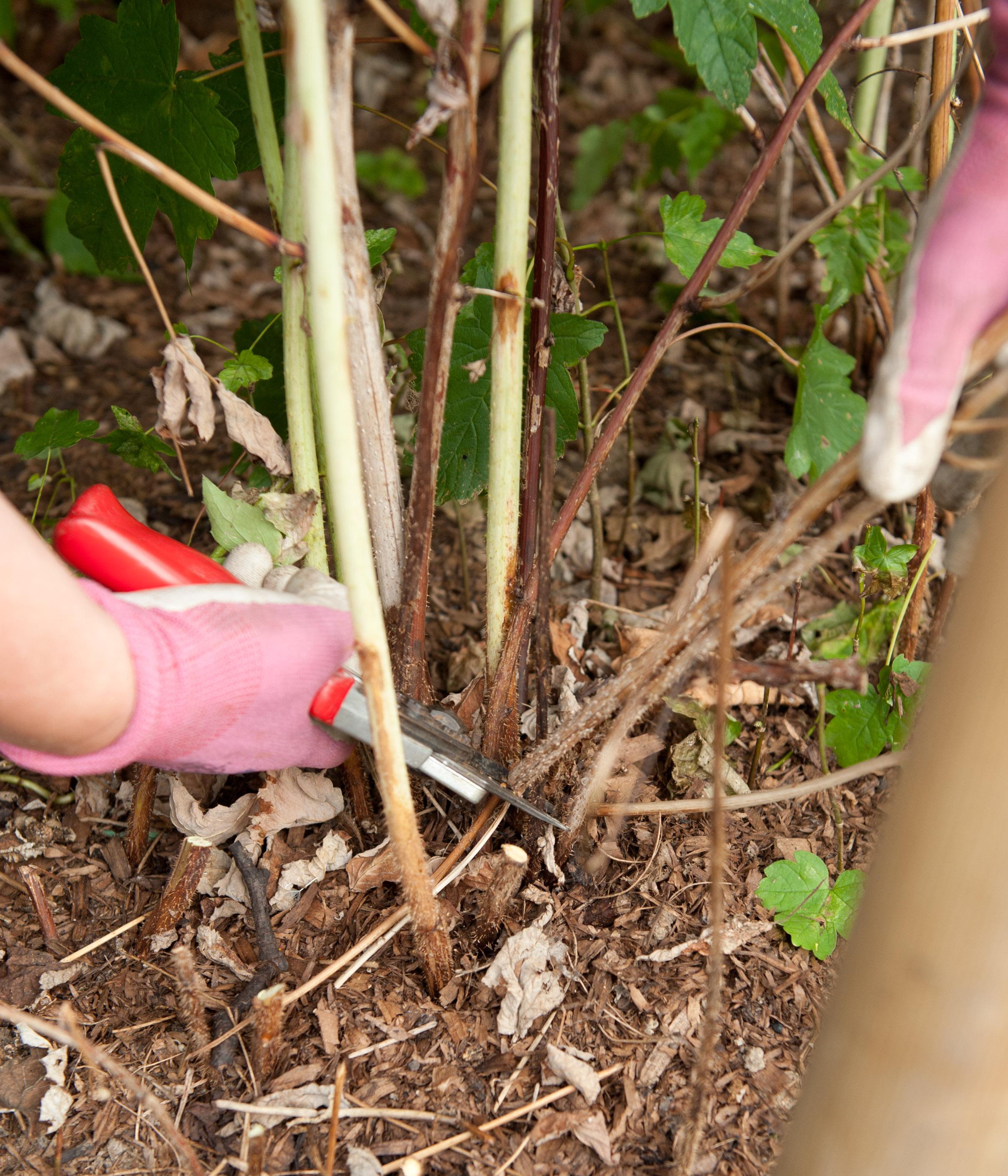Секреты ухода за ремонтантной малиной весной