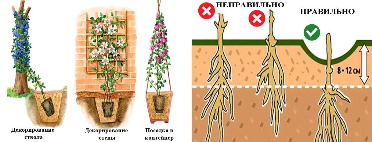 Посадка и уход за клематисами в открытом грунте: инструкция для новичков