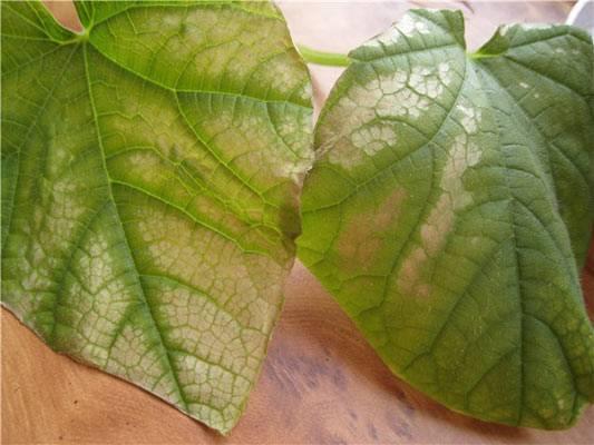 Огурцы: болезни и их лечение