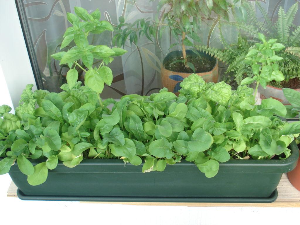 Выращивание рукколы в домашних условиях: посадка, уход, советы