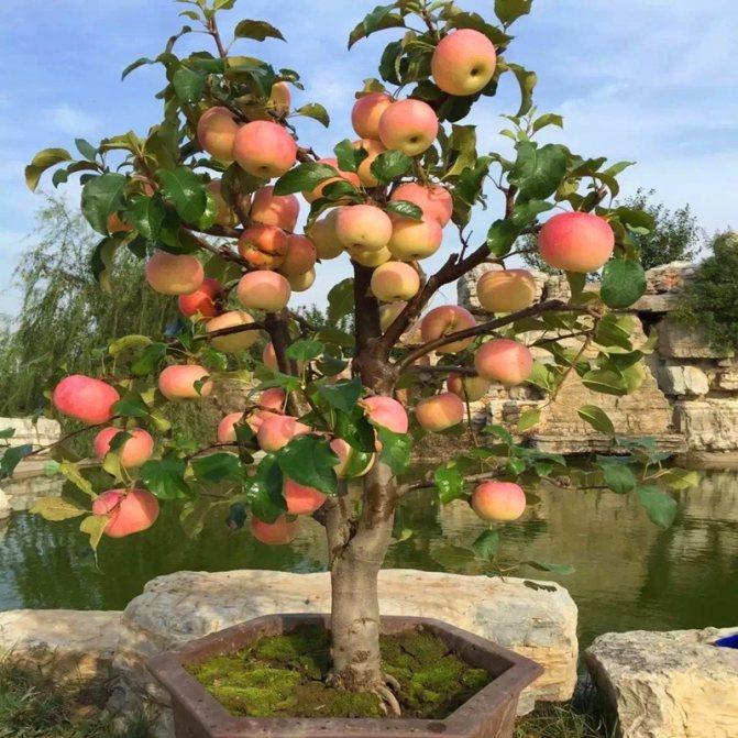 Самые лучшие сладкие сорта яблонь для подмосковья и их особенности - мегарод