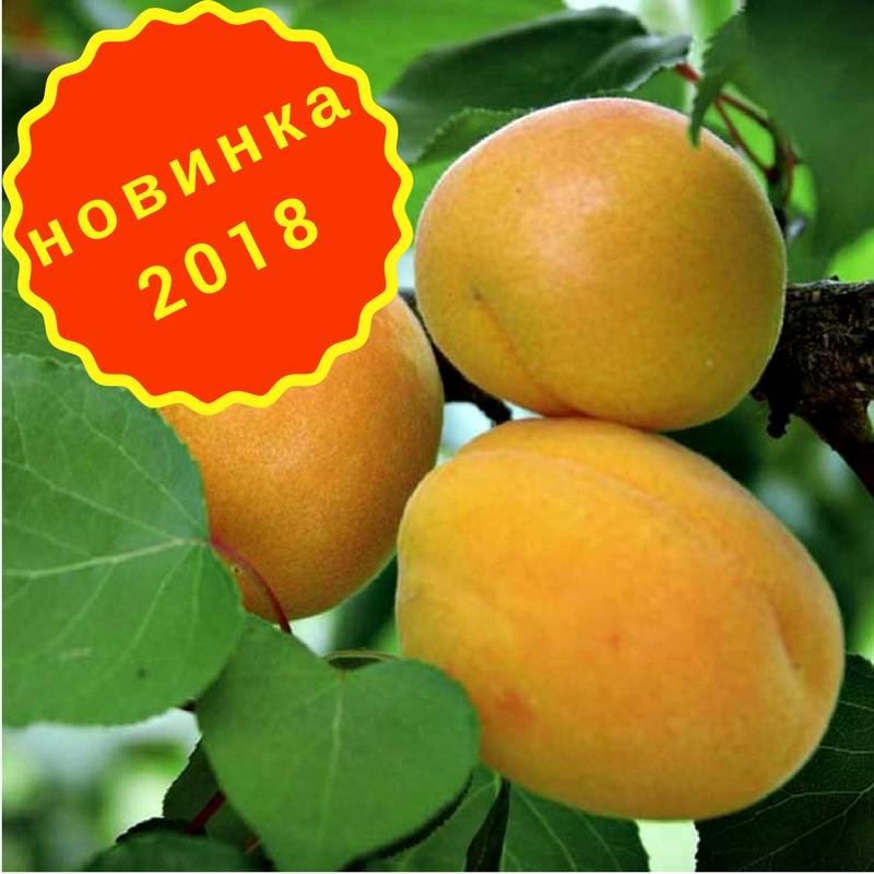Сорт абрикоса лель: описание, фото