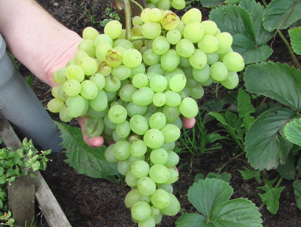 Виноград супер экстра: описание сорта, фото и отзывы