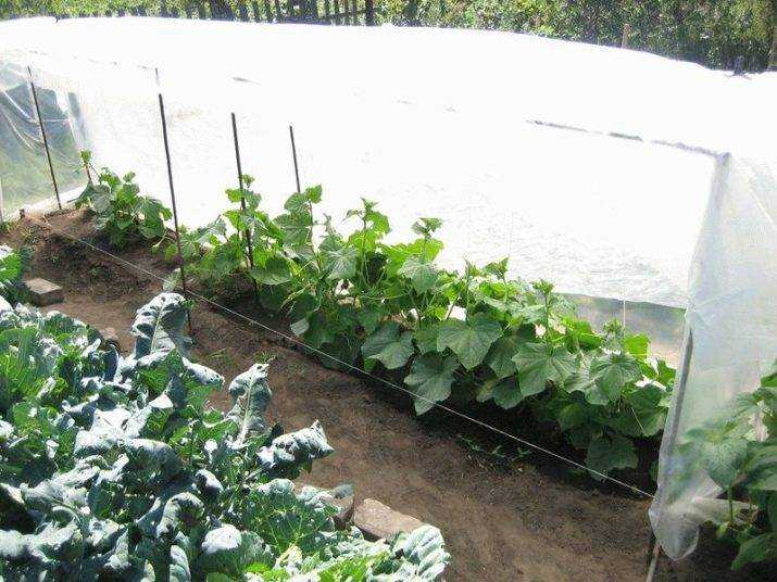 Посадка и выращивание огурцов в открытый грунт под пленку без полива и прополки
