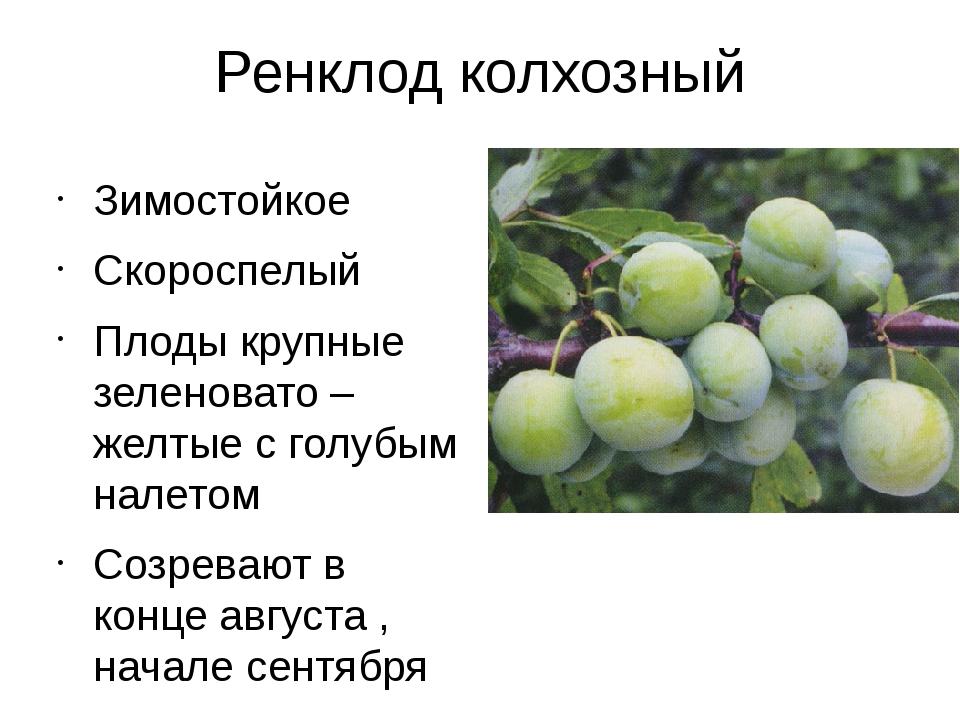Желтая слива: описание лучших сортов, посадка, выращивание и уход с фото