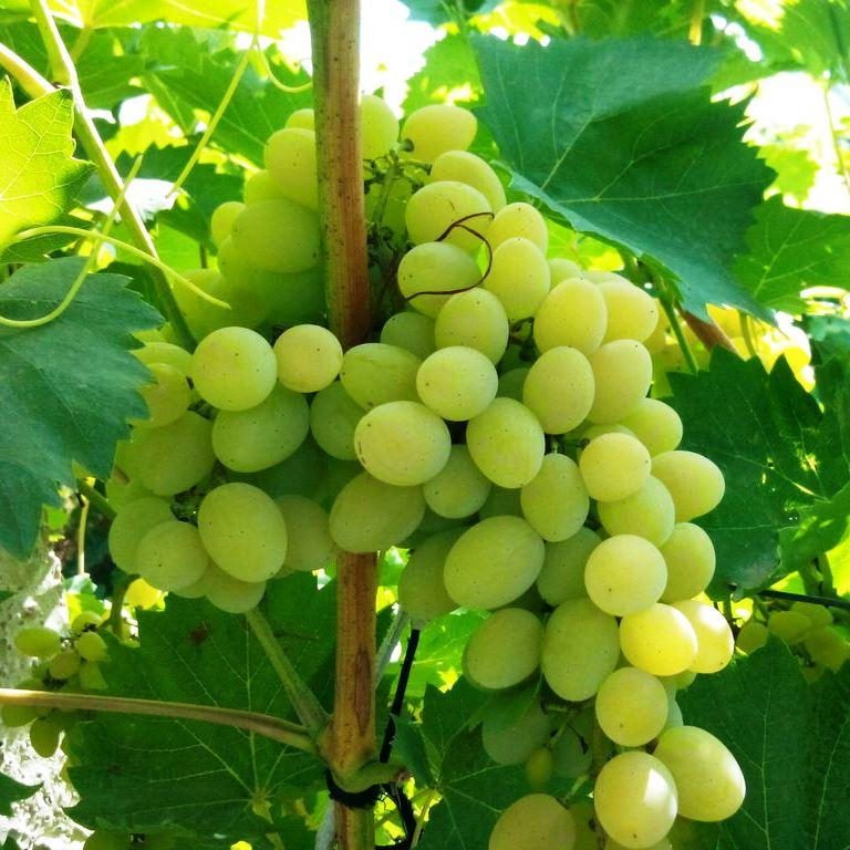 Виноград сорта супер-экстра (цитрин): особенности посадки и выращивание