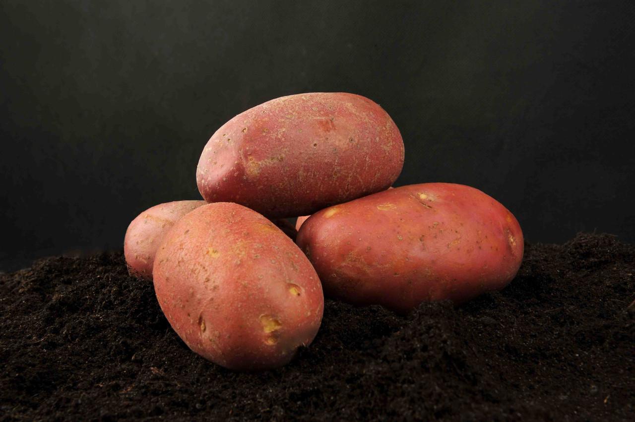 Сорт картофеля манифест: характеристика, описание и фото, достоинства и недостатки, правила выращивания картошки, болезни и вредители